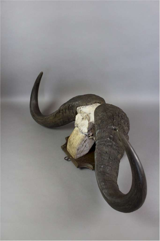 Taxidermy: Water Buffalo horns mounted on shield dated 1933